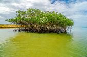 Mangrove And Water