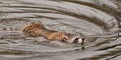 Raccoon (Procyon lotor) Swims Right