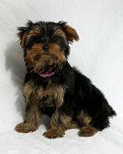 Yorkie Pup Sitting Pretty