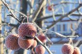 Frozen Crabapples
