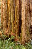 pic of redwood forest  - redwood tree trunk and sword ferns - JPG