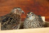 Young quails in wooden box on straw on wooden background