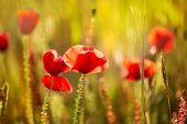Poppies Poppy red flowers in Menorca spring fields Balearic Islands