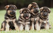 foto of german shepherd dogs  - Four six weeks old pure breed german shepherd dog puppies in a row - JPG