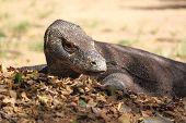 picture of komodo dragon  - Rare Komodo Dragon in Rinca Island Flores Indonesia - JPG