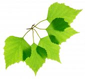 Green fresh birch leaves isolated
