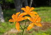 Flowers Of Lily (lilium Distichum)