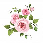 picture of english rose  - Vector branch of pink roses with green leaves isolated - JPG
