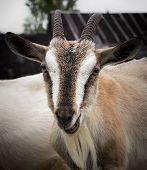 Rural goat