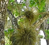Florida Air Plants, Spanish Moss