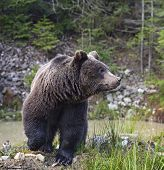 pic of omnivore  - Young brown bear in its natural habitat - JPG