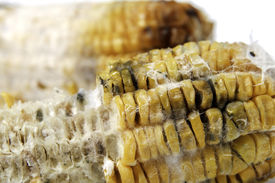 stock photo of smut  - close up of rotten grilled corn with fungus - JPG