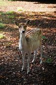 Deer in the park during fall/autumn