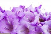 stock photo of gladiolus  - border of gladiolus flowers isolated on white background - JPG