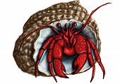 picture of hermit  - hermit crab isolated on a white background - JPG