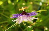 Purple Haze Passiflora