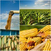 stock photo of corn  - Collection of corn plant and corn cob images - JPG