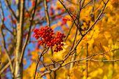 Rowan In Autumn