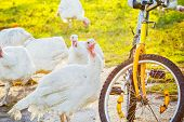 Turkeys And Old Bicycle, Backlit