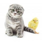 Kitten and cute little chicken on white background.British Shorthair cat.