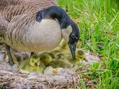 picture of baby goose  - Canada Goose sitting on a nest with newly hatched goslings - JPG