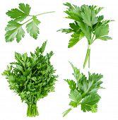 Set of fresh parsley