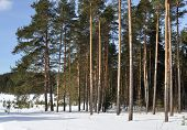 Pine Forest In Winter Time