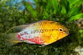 picture of freshwater fish  - Tropical freshwater aquarium fish from genus Apistogramma - JPG