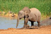 A baby African elephant (Loxodonta africana) at a waterhole, Addo Elephant National Park, South Afri