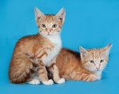 Two Red And White Kittens Sitting On Blue