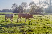 Three Cows In Dewy Grass