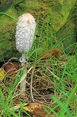 Shaggy Ink Cap (Coprinus comatus)