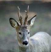 Deer - Portret