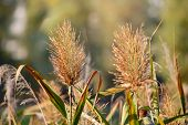 image of bulrushes  - Bulrush flower close to the lake in autumn - JPG