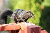 Squirrel, Black (Sciurus)