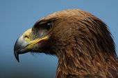 Close-up Of Golden Eagle Head Staring Downwards