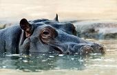 The Hippopotamus (hippopotamus Amphibius), Or Hippo