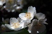 image of jasmine  - Blooming jasmine tree - JPG