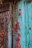 Climbing plant on an old door
