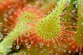 sundew - Drosera capillaris