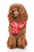 stock photo of poodle  - Red poodle puppy sits in red white peas scarf on a white background - JPG