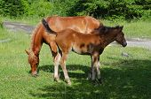 stock photo of bay horse  - Bay horse with foal grazes in the mountains at sunny day - JPG