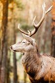 picture of jousting  - Majestic powerful adult male deer stag in autumn fall forest - JPG