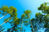 stock photo of birchwood  - silver birch trees against the blue sky - JPG