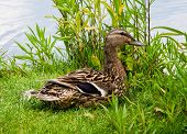 pic of bill-of-rights  - Female smiling mallard duck sitting on grass by water facing right - JPG