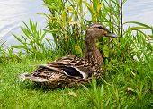 Smiling Female Mallard Duck On Grass
