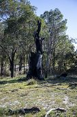 Remains of a large burnt tree after fire in Whiteman Park