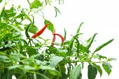 Red hot chili pepper on tree isolated on white background.