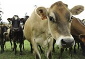 foto of calf cow  - Dairy cows in a field being curious - JPG