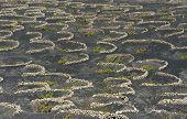 Vineyards At La Geria Valley, Lanzarote Island, Canary Islands, Spain